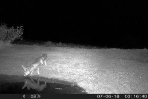 شاهروباه در پناهگاه حیات وحش یخاب مشاهده شد