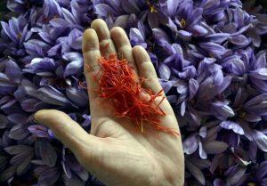 روستای علوی بزرگترین تولیدکننده زعفران کاشان