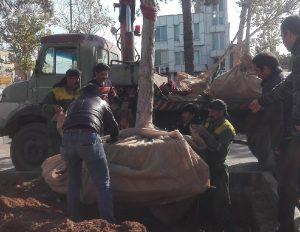 انتقال درختان پارک شهید حسنزاده به پارک ناژون