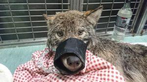 این حیوان به عنوان یک سگ در کلینیک دامپزشکی تحت درمان قرار گرفت