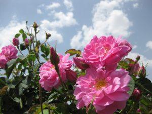 برداشت گل محمد از باغات نوشآباد