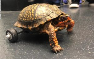 لاکپشت با صندلی چرخدار