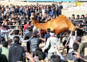 شترکشون عید قربان در کاشان
