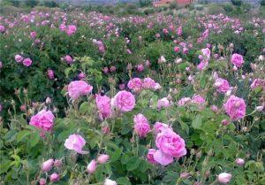 گلستان گل محمدی