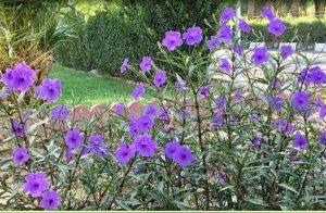 گل رائولیا