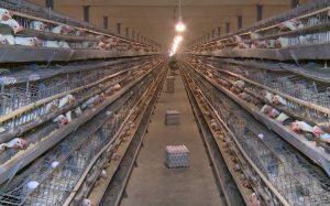 جوجهریزی در مرغداریهای کاشان ۵۰ درصد افزایش یافت