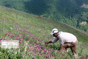 ۶۰۰ هکتار اراضی کاشان به کشت گیاهان دارویی اختصاص دارد