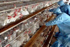مراقبت مرغداران از شیوع آنفلوانزای فوق حاد پرندگان